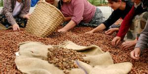 Fındık Üreticisi,15 Lira Taban Fiyat Bekliyor!
